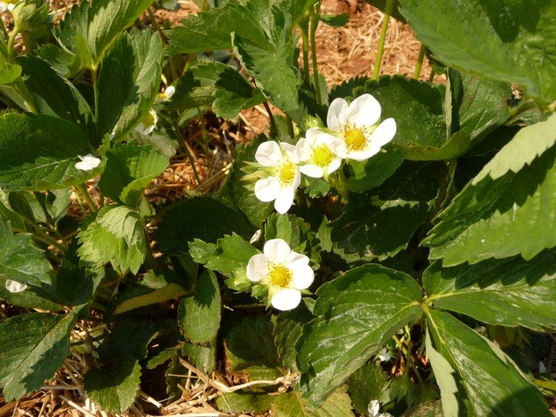 May 8 2015 Strawberry Plants